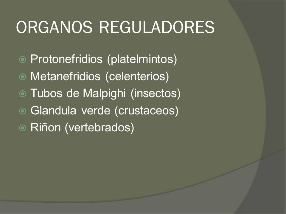 ORGANOS REGULADORES Protonefridios (platelmintos)