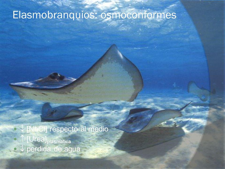 Elasmobranquios: osmoconformes
