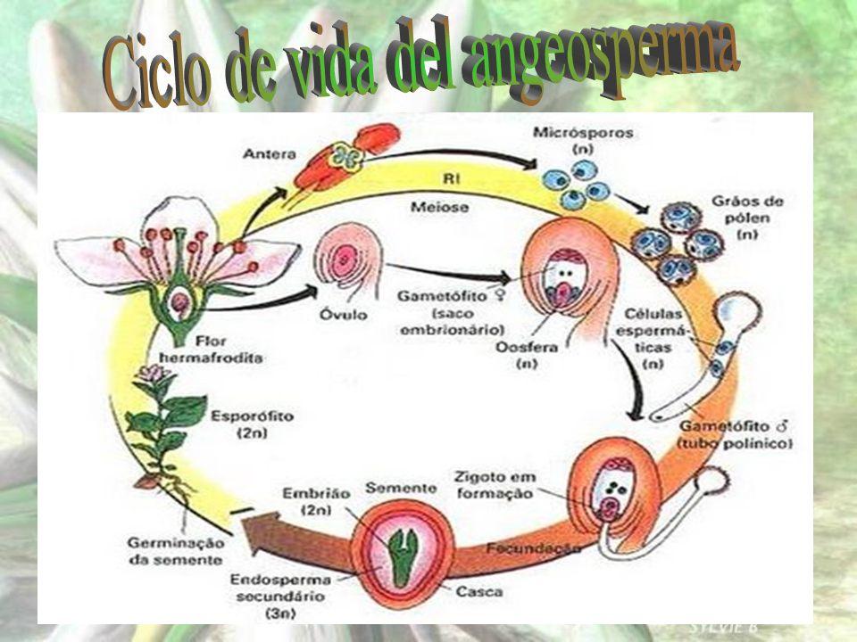 Ciclo de vida del angeosperma