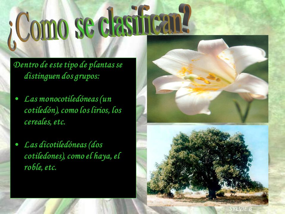 ¿Como se clasifican Dentro de este tipo de plantas se distinguen dos grupos: