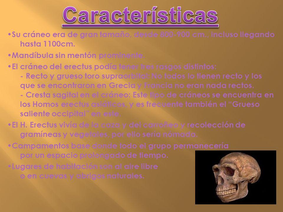 Características •Su cráneo era de gran tamaño, desde 800-900 cm., incluso llegando hasta 1100cm. •Mandíbula sin mentón prominente.