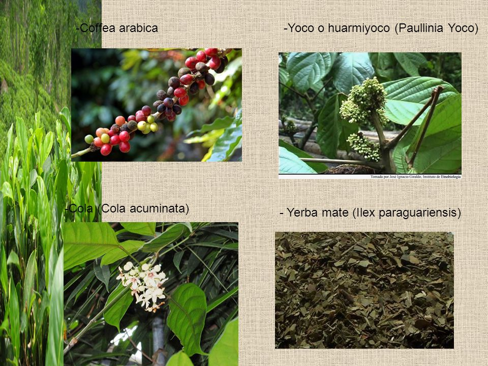 Coffea arabica Yoco o huarmiyoco (Paullinia Yoco) Cola (Cola acuminata) - Cacao (Theobroma Cacao)