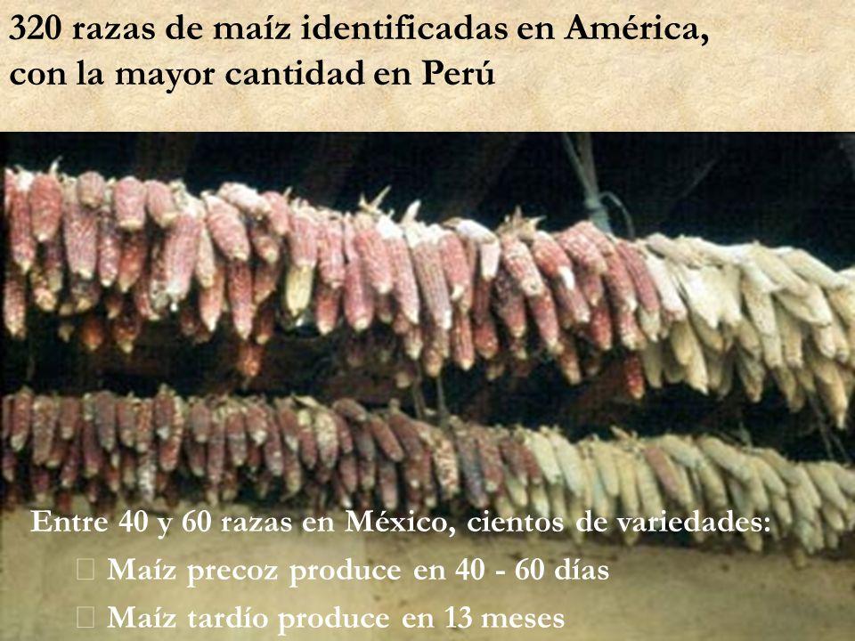 320 razas de maíz identificadas en América, con la mayor cantidad en Perú