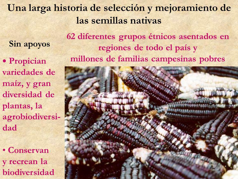 Una larga historia de selección y mejoramiento de las semillas nativas