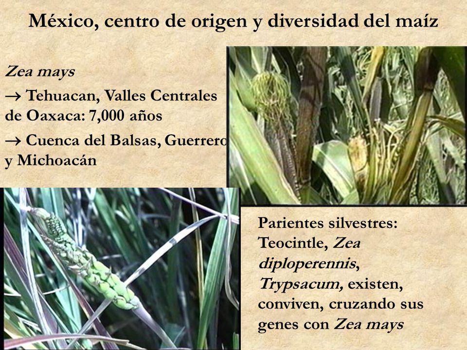 México, centro de origen y diversidad del maíz