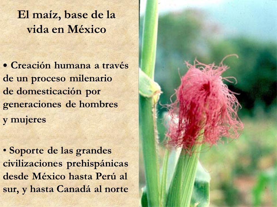 El maíz, base de la vida en México