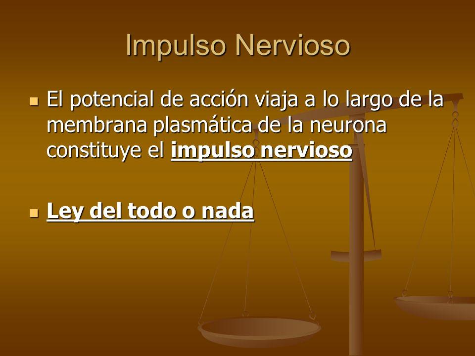 Impulso Nervioso El potencial de acción viaja a lo largo de la membrana plasmática de la neurona constituye el impulso nervioso.