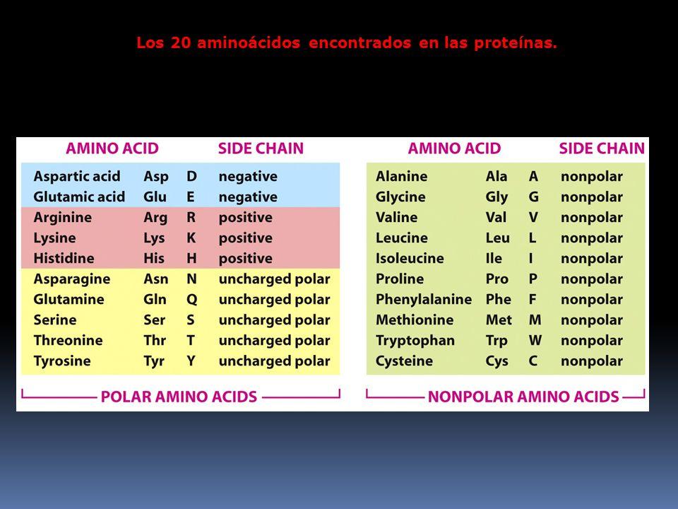 Los 20 aminoácidos encontrados en las proteínas.