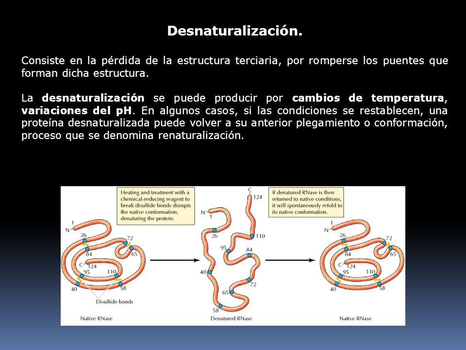 Desnaturalización. Consiste en la pérdida de la estructura terciaria, por romperse los puentes que forman dicha estructura.