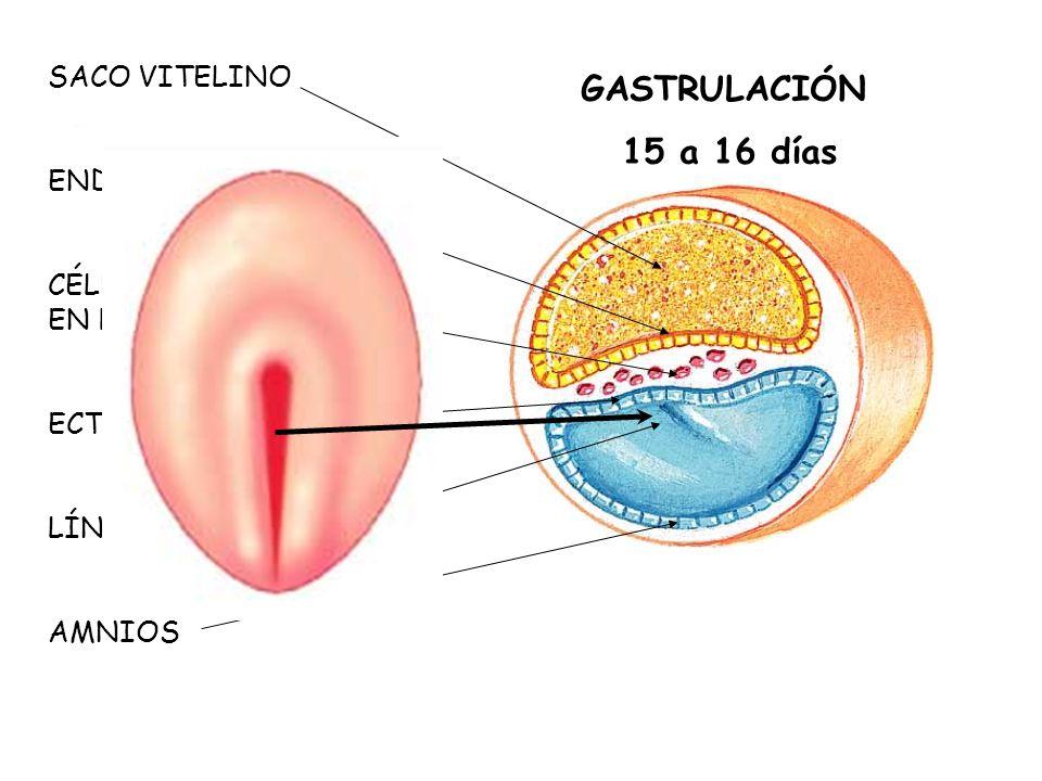 GASTRULACIÓN 15 a 16 días SACO VITELINO ENDODERMO