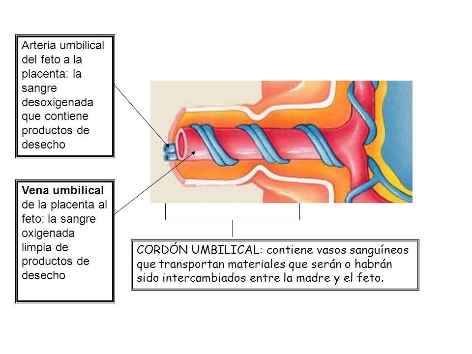 Arteria umbilical del feto a la placenta: la sangre desoxigenada que contiene productos de desecho