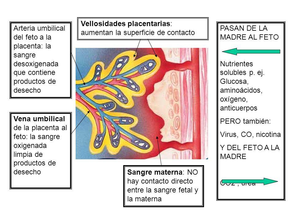 Vellosidades placentarias: aumentan la superficie de contacto