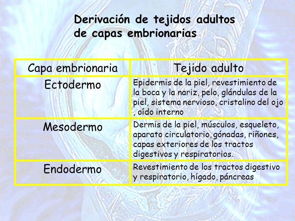Derivación de tejidos adultos de capas embrionarias