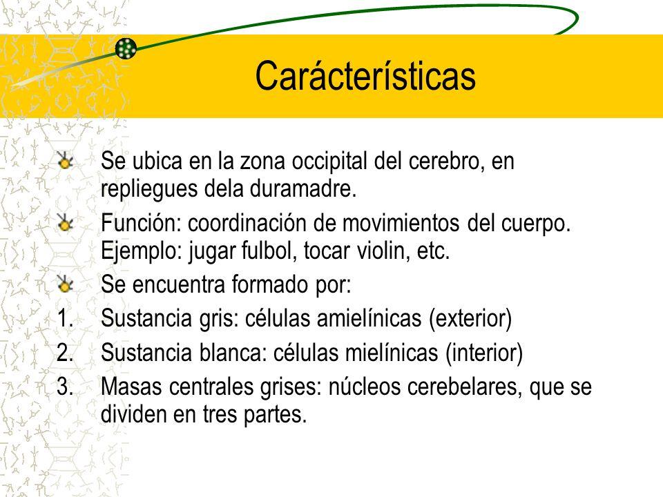 Carácterísticas Se ubica en la zona occipital del cerebro, en repliegues dela duramadre.