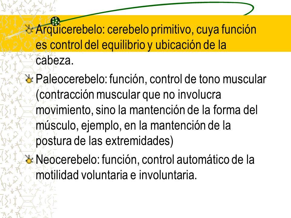 Arquicerebelo: cerebelo primitivo, cuya función es control del equilibrio y ubicación de la cabeza.