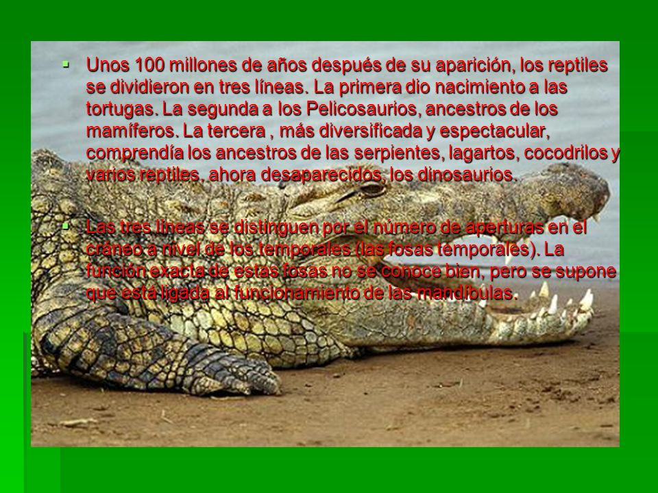 Unos 100 millones de años después de su aparición, los reptiles se dividieron en tres líneas. La primera dio nacimiento a las tortugas. La segunda a los Pelicosaurios, ancestros de los mamíferos. La tercera , más diversificada y espectacular, comprendía los ancestros de las serpientes, lagartos, cocodrilos y varios reptiles, ahora desaparecidos, los dinosaurios.