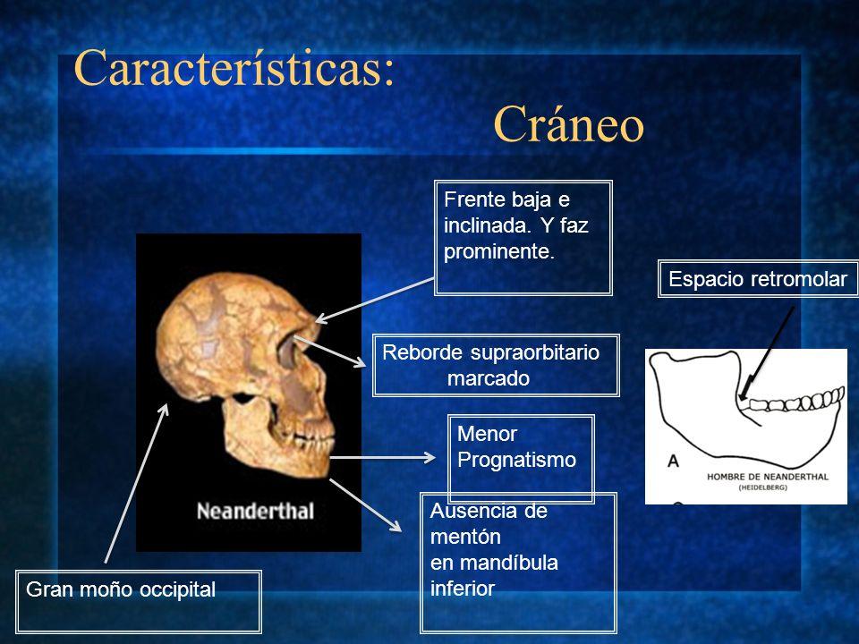 Características: Cráneo