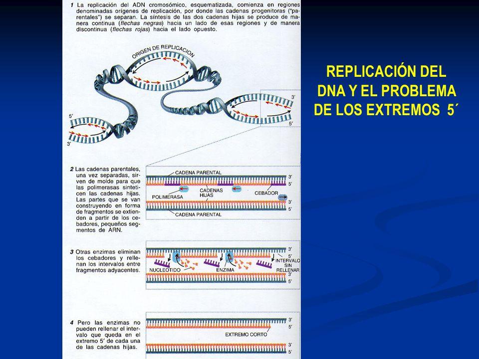 REPLICACIÓN DEL DNA Y EL PROBLEMA DE LOS EXTREMOS 5´