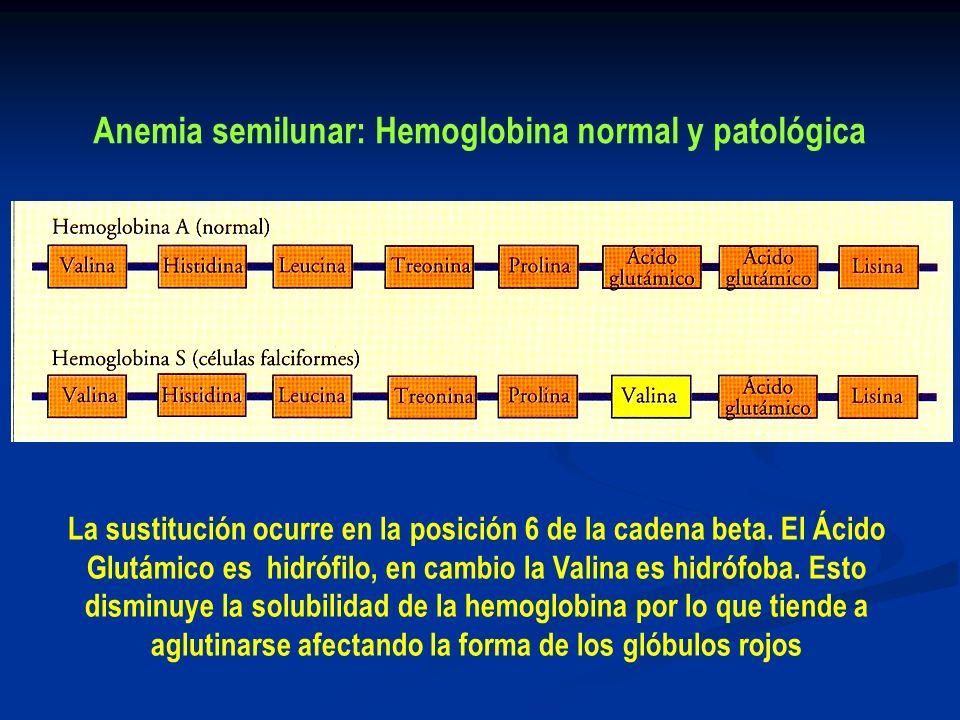 Anemia semilunar: Hemoglobina normal y patológica