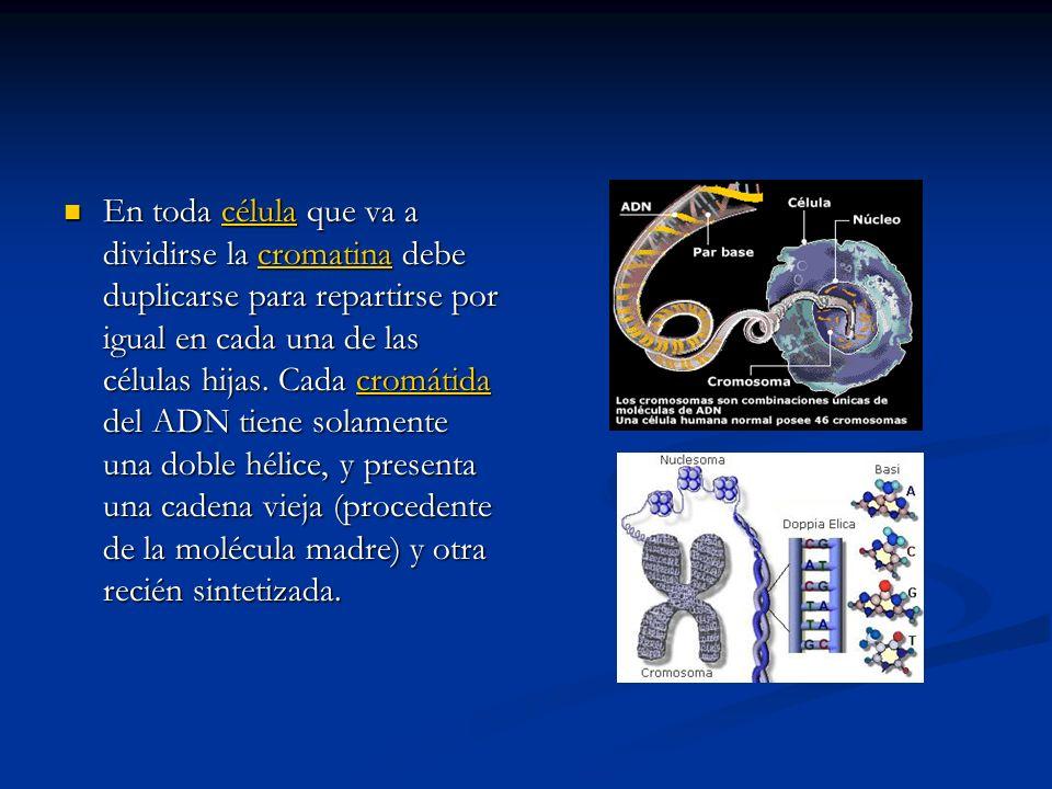 En toda célula que va a dividirse la cromatina debe duplicarse para repartirse por igual en cada una de las células hijas.