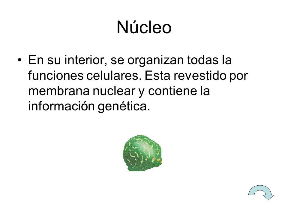 Núcleo En su interior, se organizan todas la funciones celulares.
