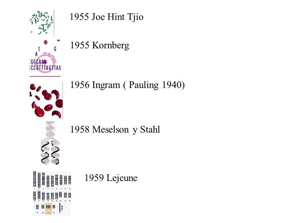 1955 Joe Hint Tjio 1955 Kornberg 1956 Ingram ( Pauling 1940) 1958 Meselson y Stahl 1959 Lejeune