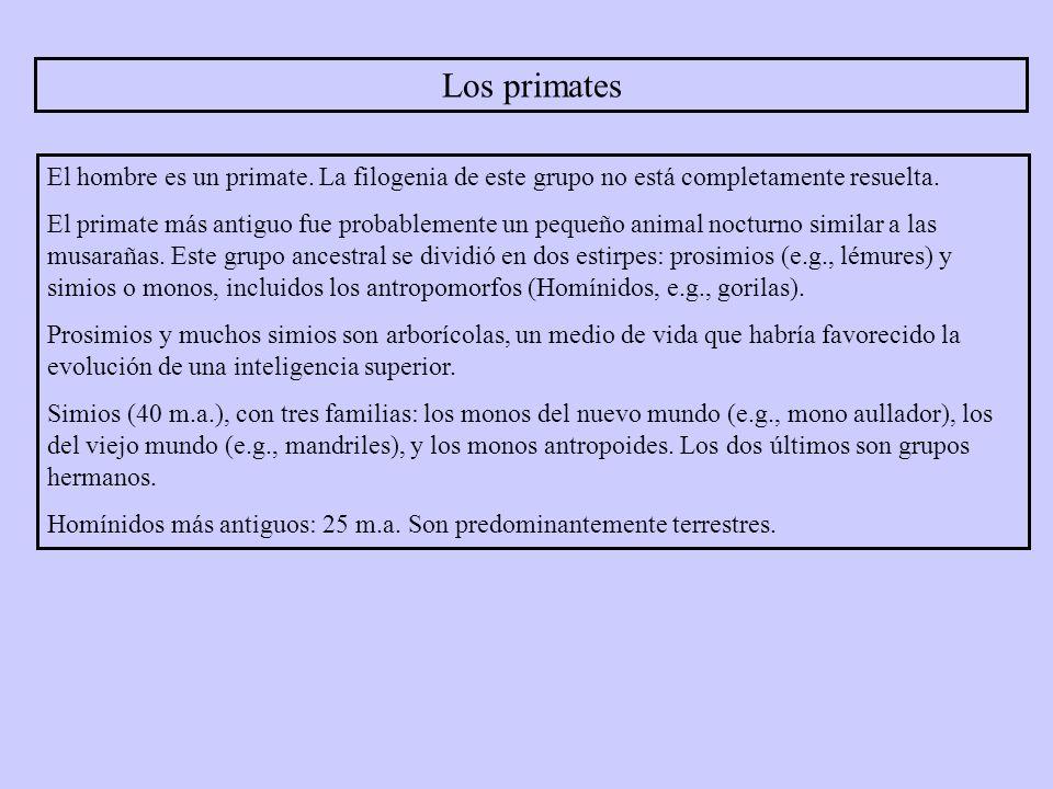 Los primates El hombre es un primate. La filogenia de este grupo no está completamente resuelta.