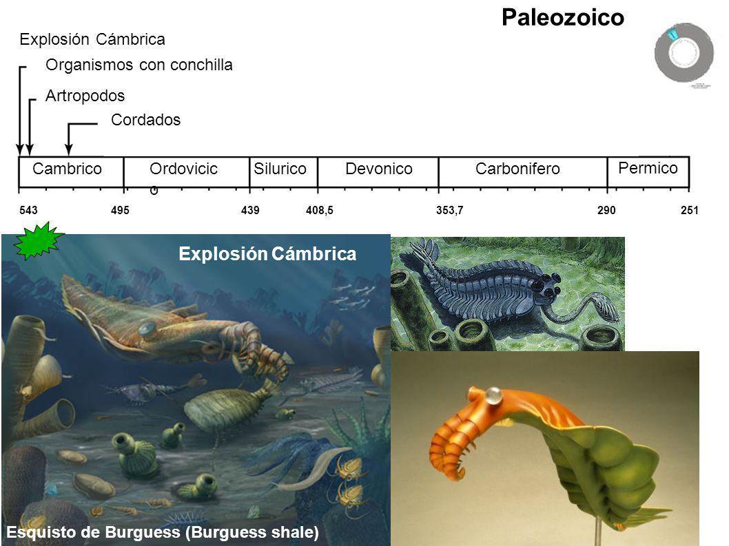 Paleozoico Explosión Cámbrica Explosión Cámbrica