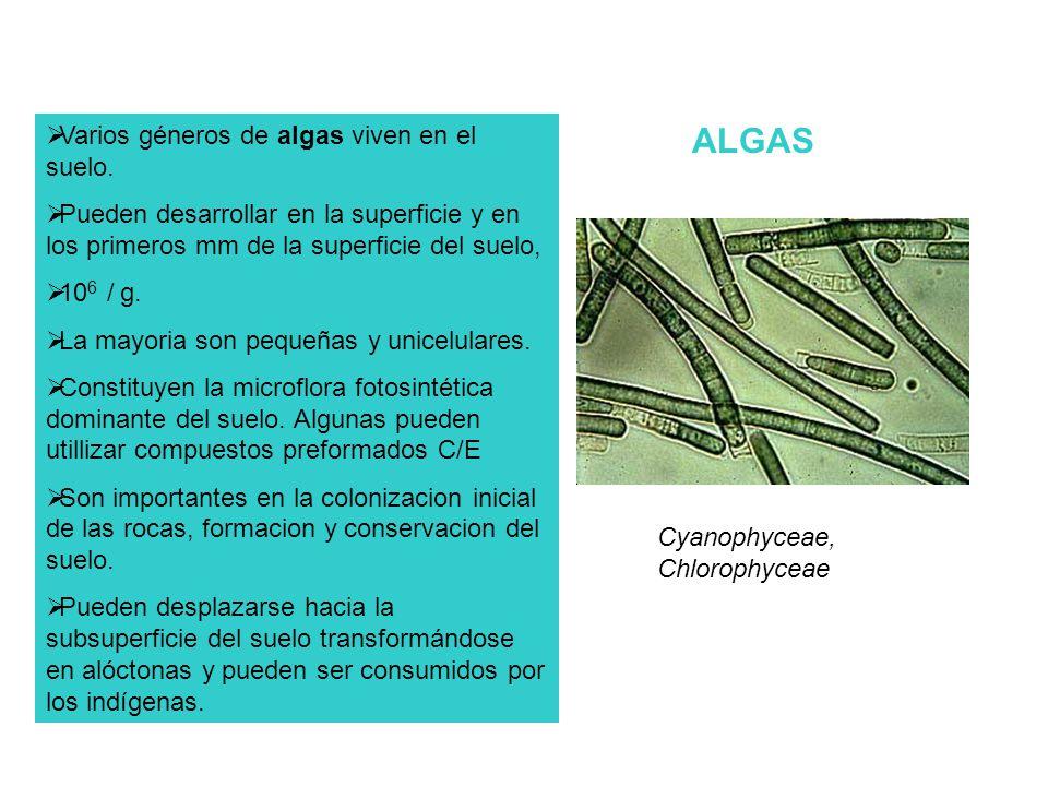 ALGAS Varios géneros de algas viven en el suelo.