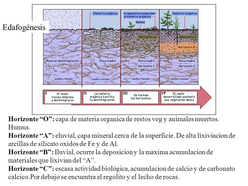Edafogénesis Horizonte O : capa de materia organica de restos veg y animales muertos. Humus.
