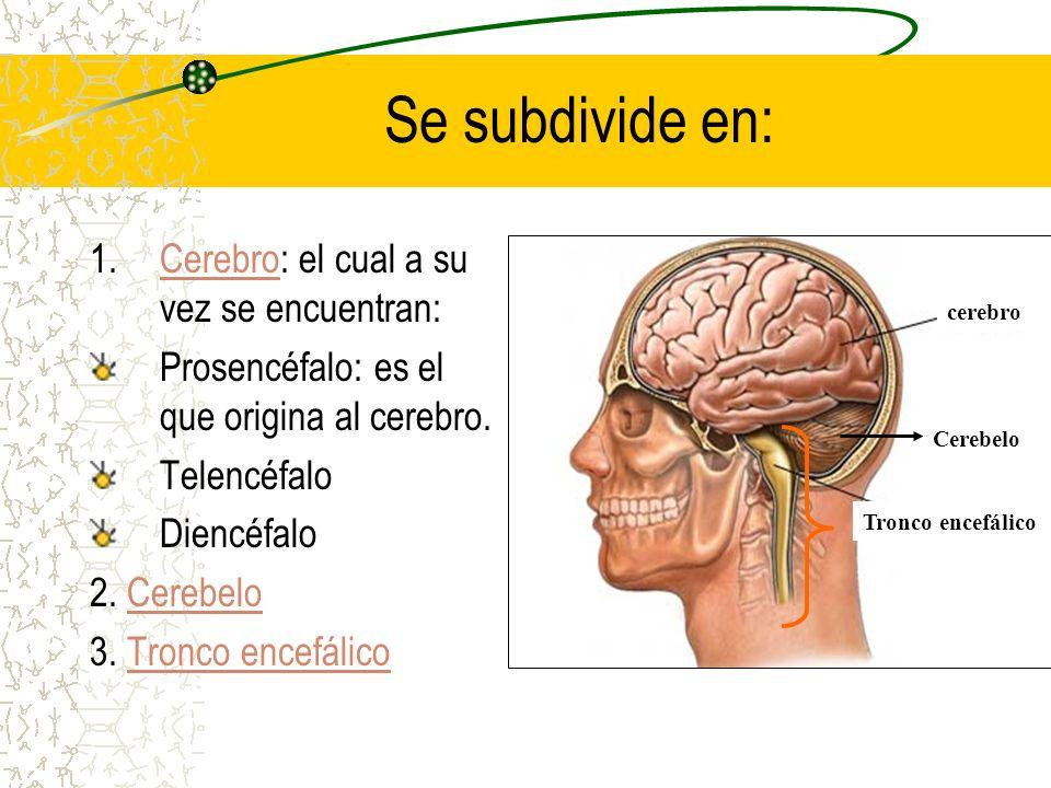 Se subdivide en: Cerebro: el cual a su vez se encuentran: