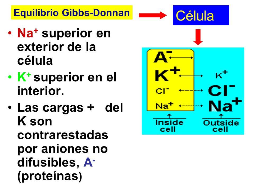 Célula Na+ superior en exterior de la célula