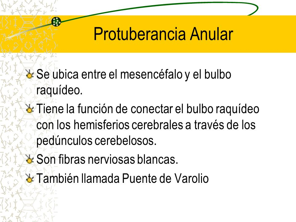 Protuberancia Anular Se ubica entre el mesencéfalo y el bulbo raquídeo.