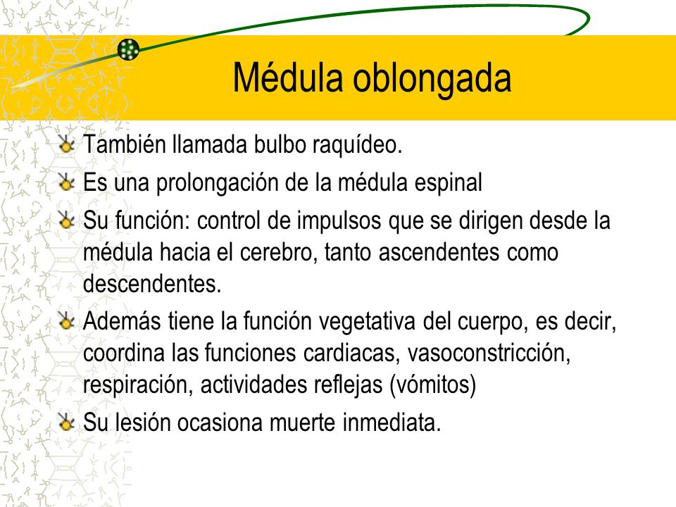 Médula oblongada También llamada bulbo raquídeo.