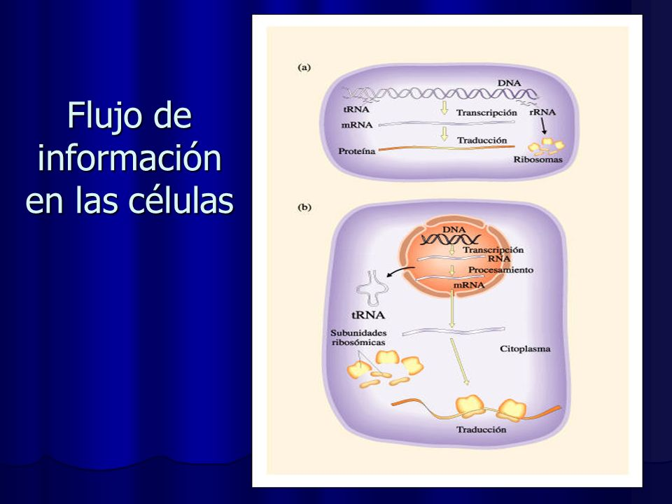 Flujo de información en las células