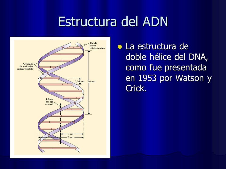 Estructura del ADN La estructura de doble hélice del DNA, como fue presentada en 1953 por Watson y Crick.