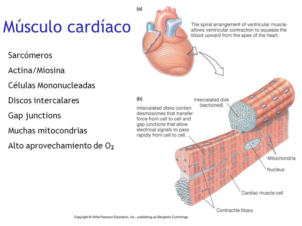 Músculo cardíaco Sarcómeros Actina/Miosina Células Mononucleadas