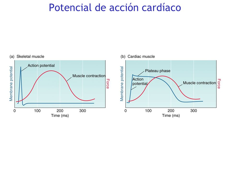 Potencial de acción cardíaco