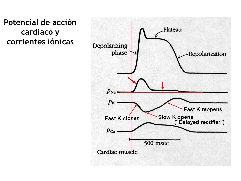 Potencial de acción cardíaco y corrientes iónicas