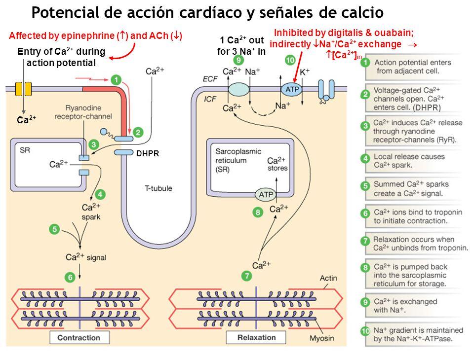 Potencial de acción cardíaco y señales de calcio