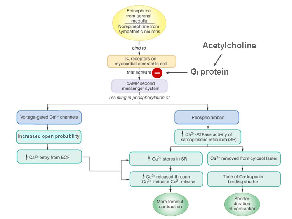 Acetylcholine Gi protein – Increased open probability