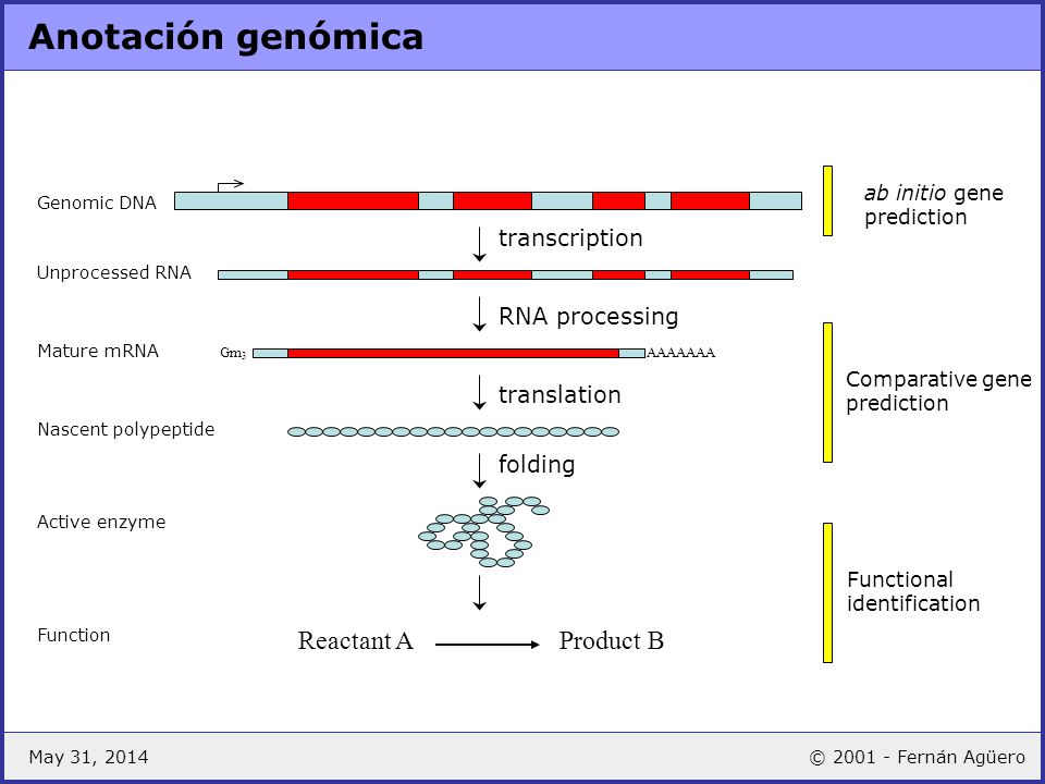 Anotación genómica Reactant A Product B transcription RNA processing