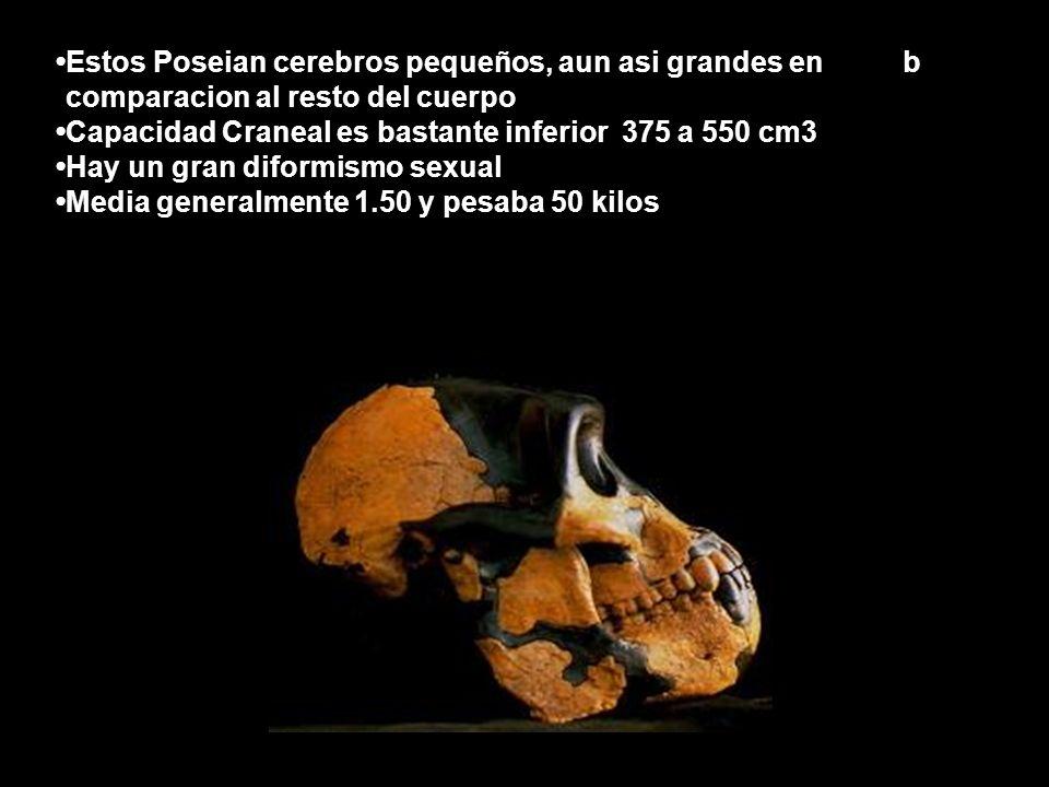•Estos Poseian cerebros pequeños, aun asi grandes en b •comparacion al resto del cuerpo •Capacidad Craneal es bastante inferior 375 a 550 cm3 •Hay un gran diformismo sexual •Media generalmente 1.50 y pesaba 50 kilos