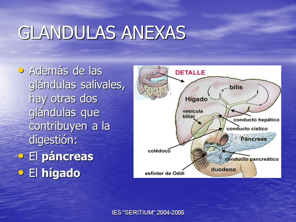 GLANDULAS ANEXASAdemás de las glándulas salivales, hay otras dos glándulas que contribuyen a la digestión: