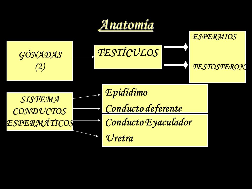 Anatomía TESTÍCULOS Epidídimo Conducto deferente Conducto Eyaculador
