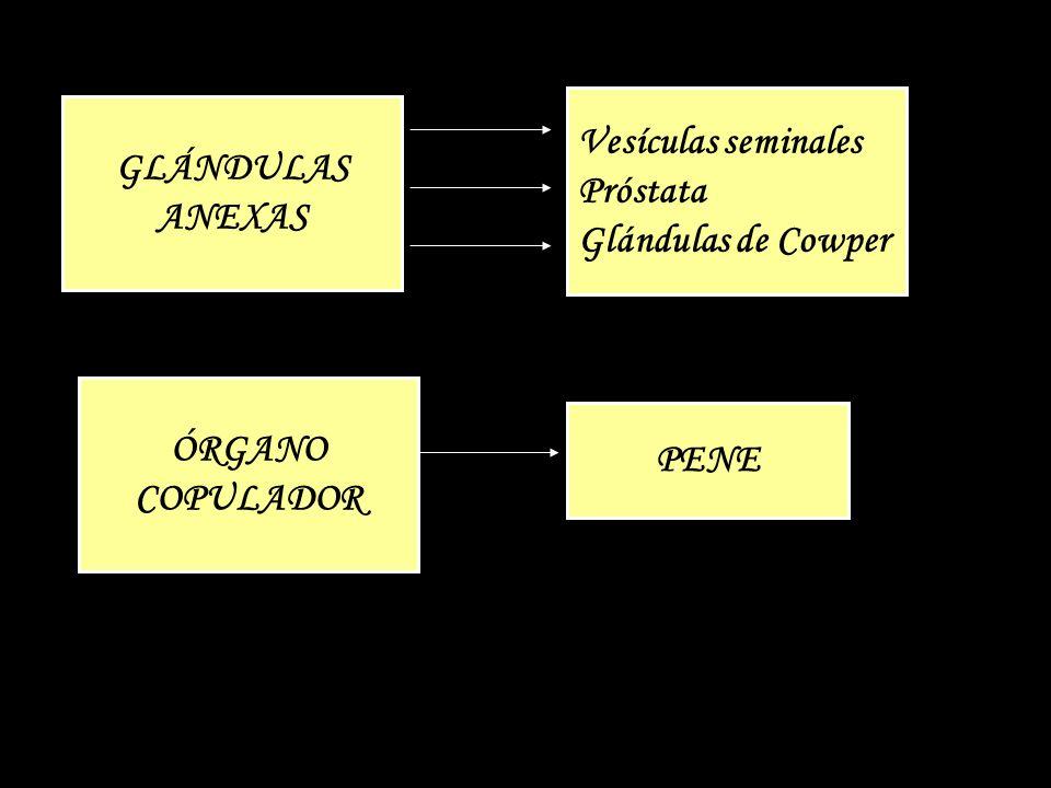 Vesículas seminales Próstata Glándulas de Cowper