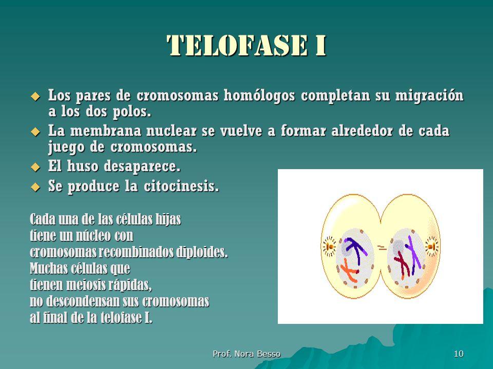 Telofase i Los pares de cromosomas homólogos completan su migración a los dos polos.