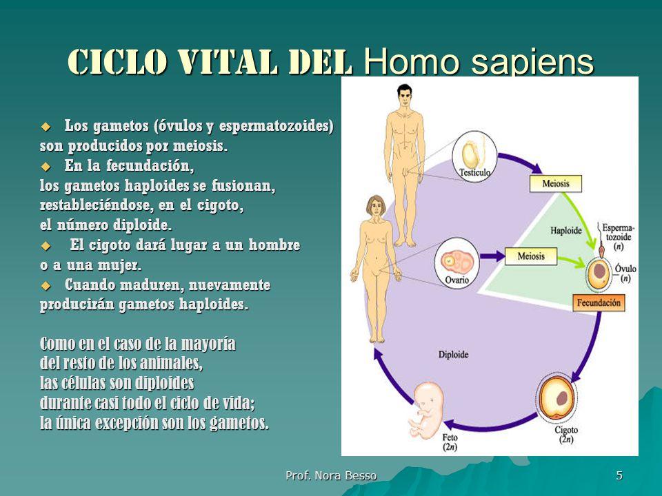Ciclo vital del Homo sapiens
