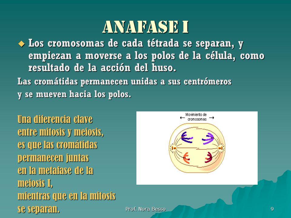 ANAFASE i Los cromosomas de cada tétrada se separan, y empiezan a moverse a los polos de la célula, como resultado de la acción del huso.