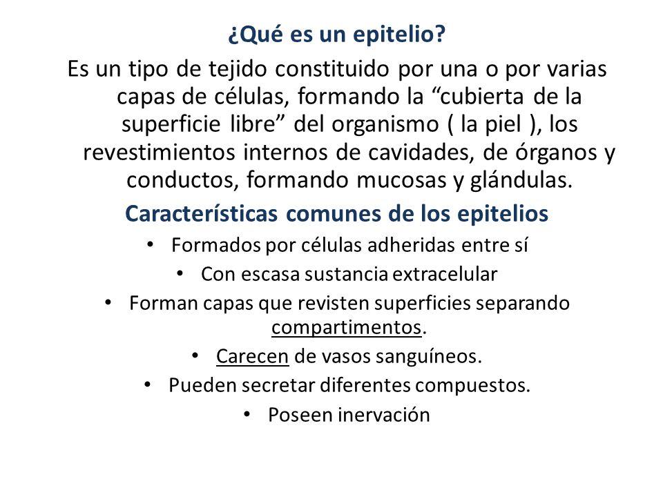 Características comunes de los epitelios